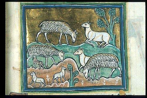 Sheep and ewes