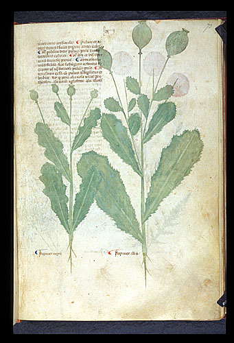Papaver and Opium