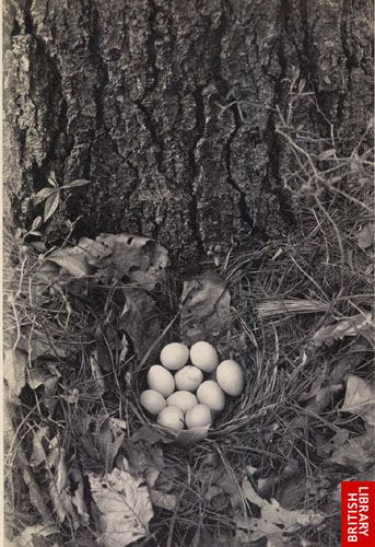 Partridge's nest, near Brister's Spring.