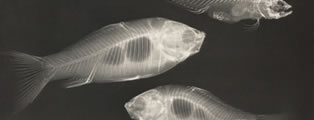 X-ray study of two goldfish and a saltwater fish