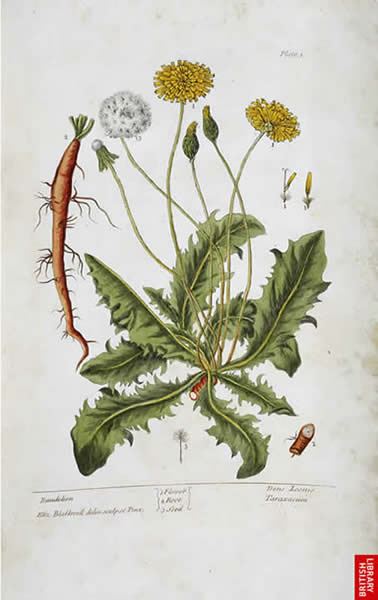 Image from Elizabeth Blackwell's 'A Curious Herbal'