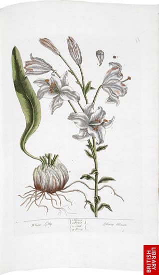 Blackwell's Herbal, page 6 - White Lily