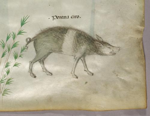 Boar or pig