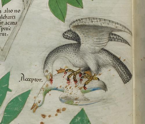 Bird of prey and duck