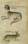 Leopard and rabbit