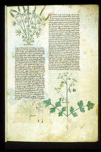 Chaste Tree, Alum, and Celery
