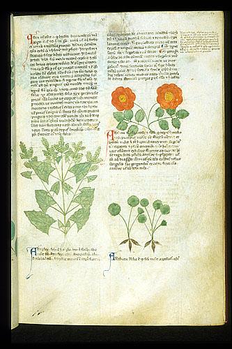 Garden Orach; Rose; Anthora Monkshood