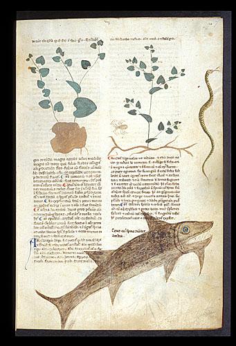 Birthwort and Ambergris