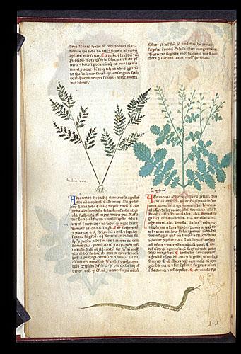 Maidenhair Fern and Agrimony
