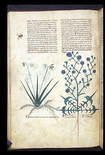 Stinking Iris and Chicory