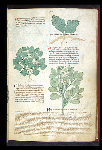Nightshade, Orphine, and Broad Bean