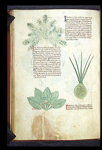 Ground-pine, Primrose, and Garlic