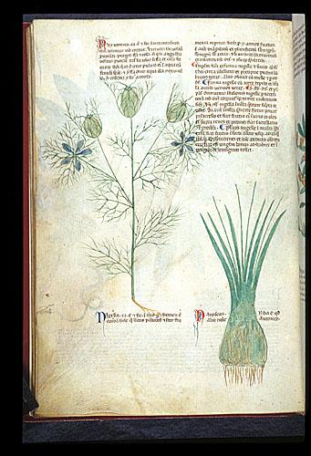 Love-in-a-Mist and Sea Daffodil