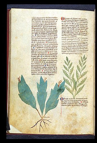 Oleander and Pellitory