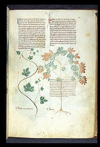 Grapevine and Pistacio