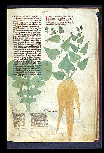 Radish and Rhubarb