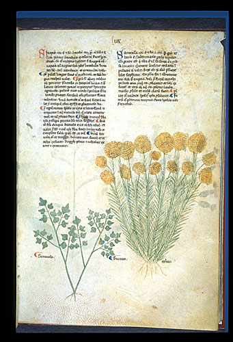 Sarcocolla and Helichrysum