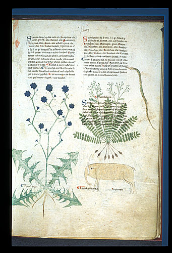 Chicory, Figwort, and Ivory
