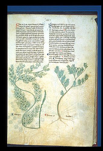 Asparagus and Savin
