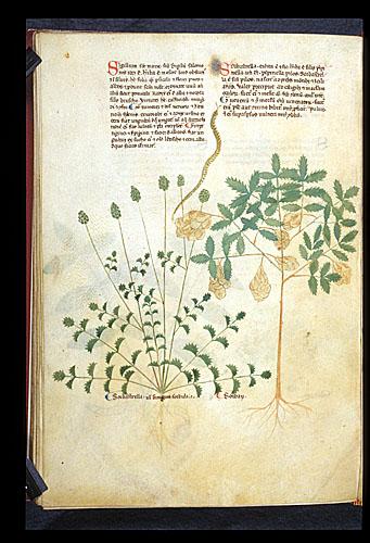 Burnet and Sorbus