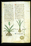 Asphodel and Garlic