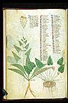 Amaranthus and Cyclamen