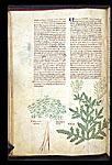 Leafy Spurge and Wild Rocket