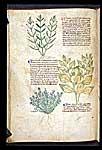 Gratiola, Lavender, and Joseph's Coat
