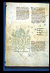 Sea-kale and Lizards