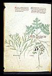 Christ's Thorn, Star-thistle, and Sebesten Plum