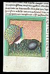 Peacock and hedgehog