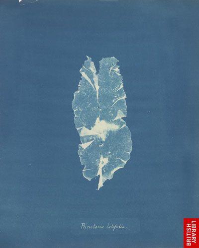 Punctaria latifolia.  [f. 59]