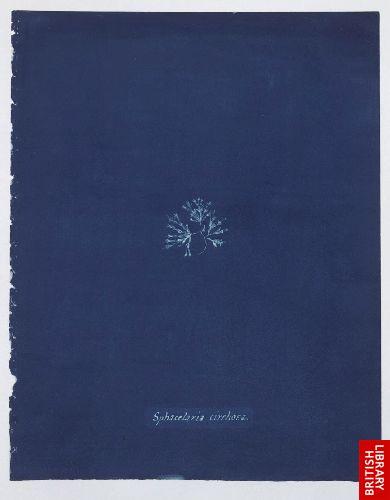 Sphacelaria cirrhosa.  [f. 75]