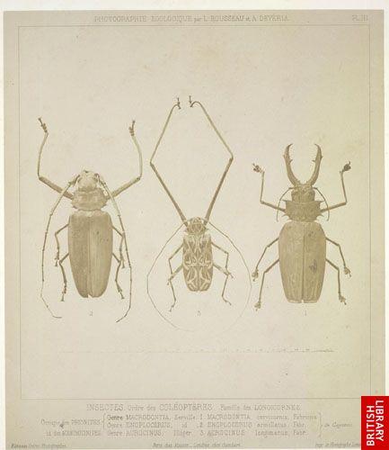 Insectes. Ordre des Col�opt�res. Famille des Longicornes. Groupe des Prionites [1, 2] ... [Groupe] des Acanthocinites [3] ...  (Cayenne.)