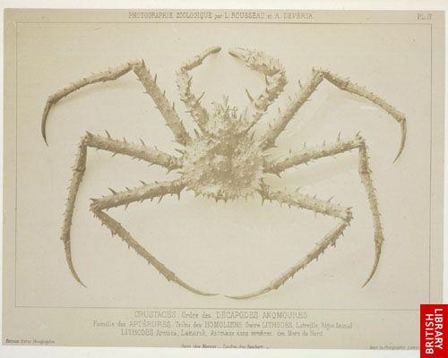 Crustac�s. Ordre des D�capodes anomoures. Famille des Apt�rures. Tribu des Homoliens. Genre Lithodes ...  (Mers du Nord.)