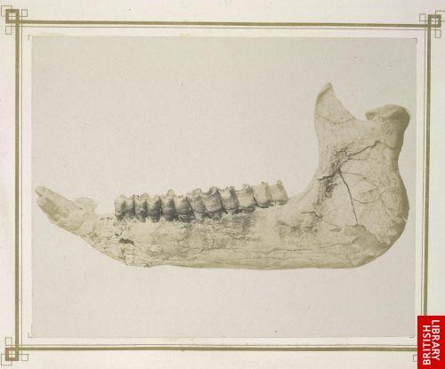 Unterkiefer von Rhinoceros Schleiermacheri.