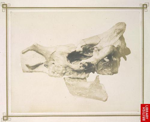 Kopf des Aceratherium minutum, Kaup. (Rhinoceros pleuroceros, Duvernoy.) Nach dem Abguss des Pariser Museums.