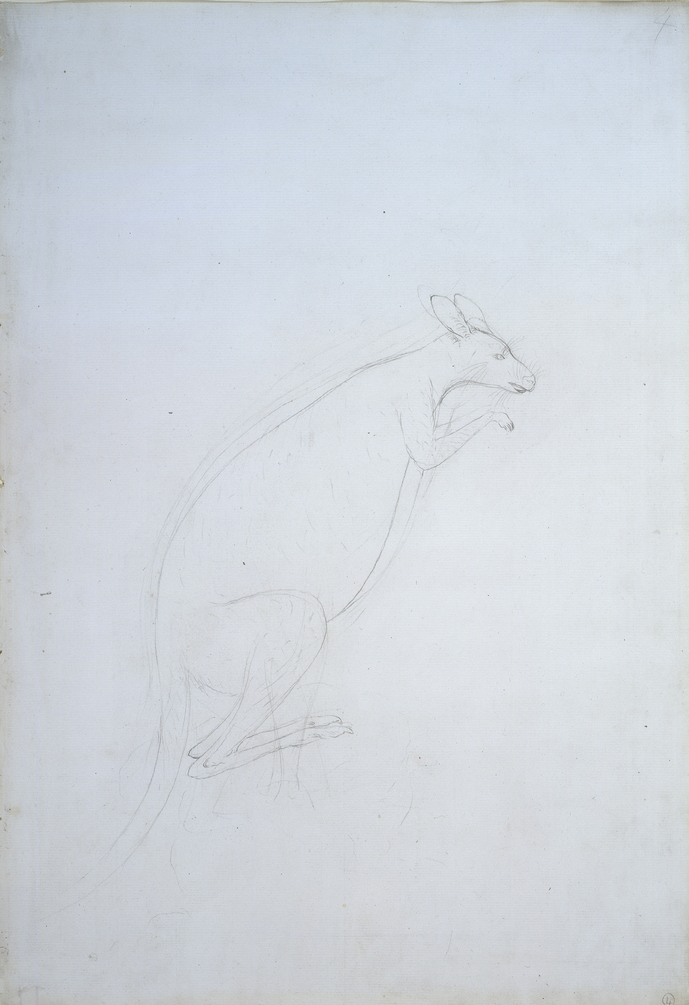 First European drawing of a kangaroo