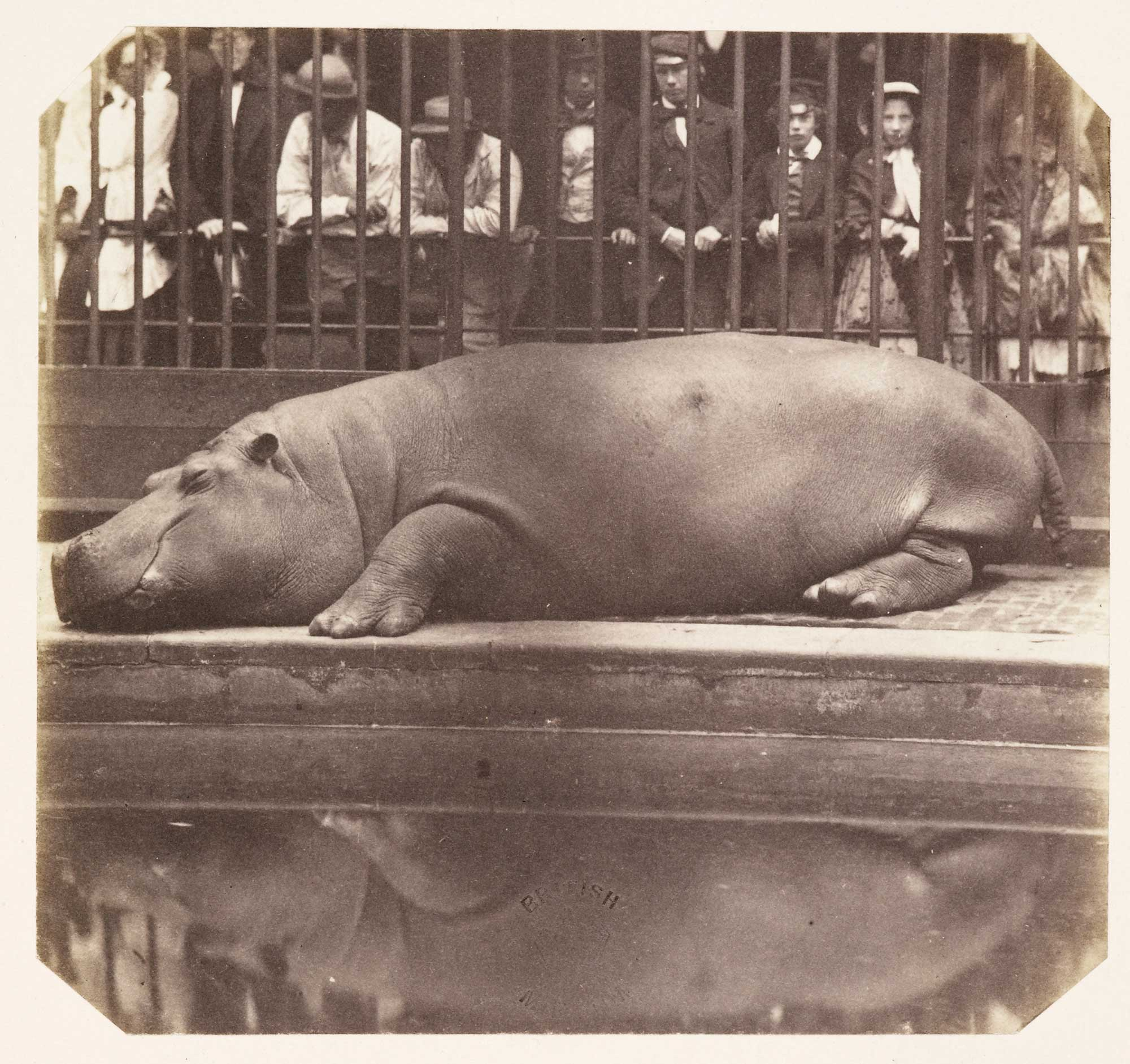 Photograph of hippopotamus from The Photographic Album for the year 1855