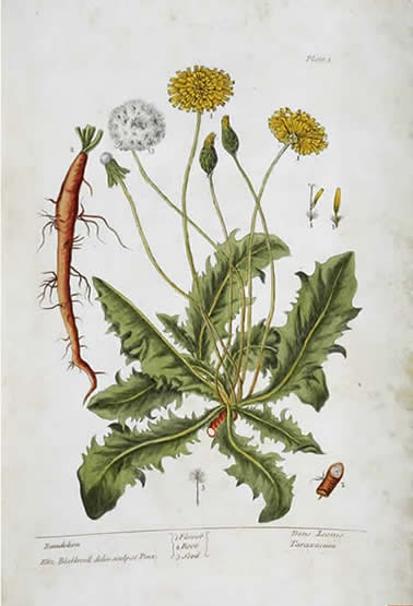 Blackwell's Herbal, page 3 - Dandelion