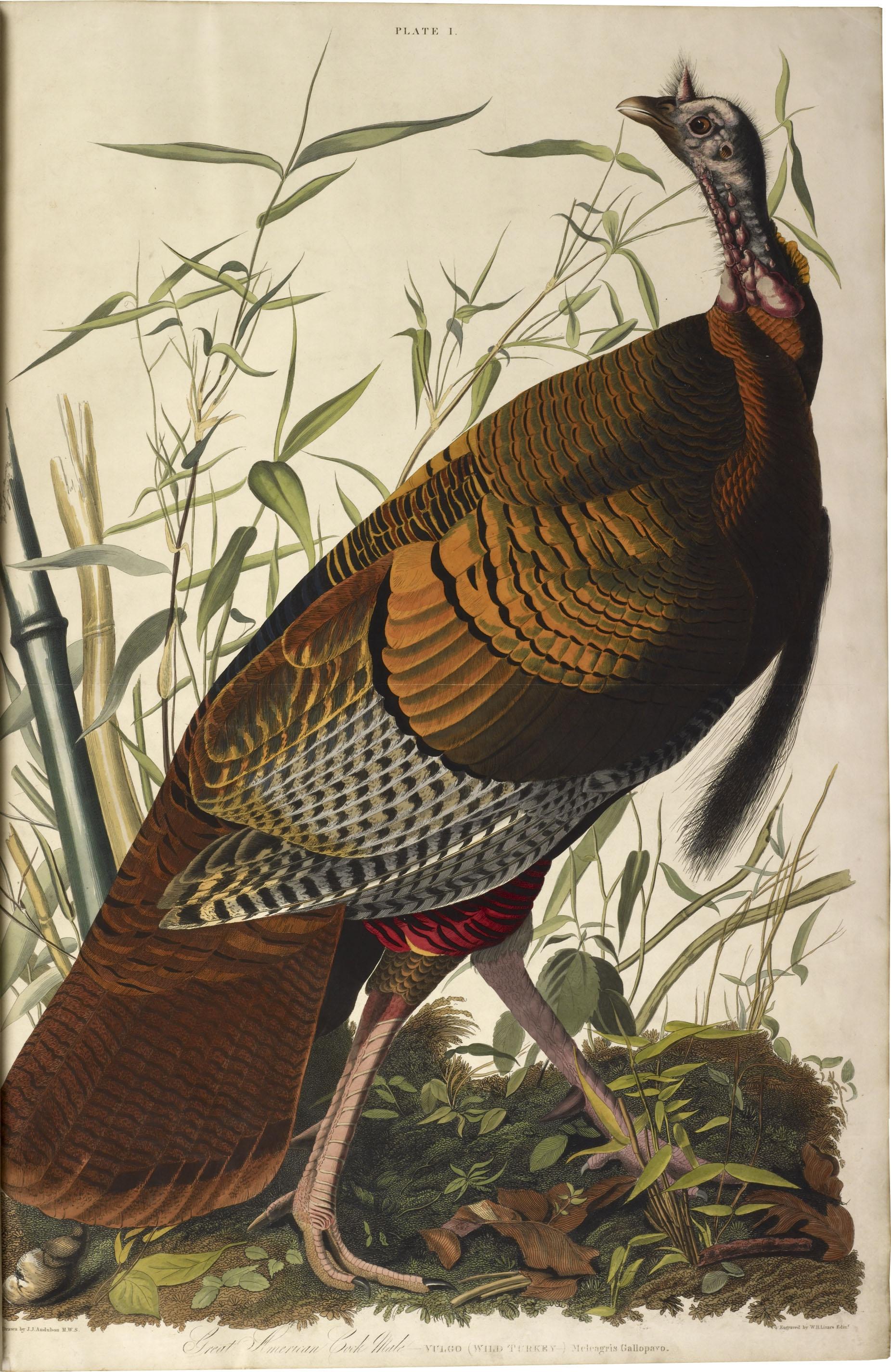 Audubon's Birds of America showing a wild turkey, plate 1