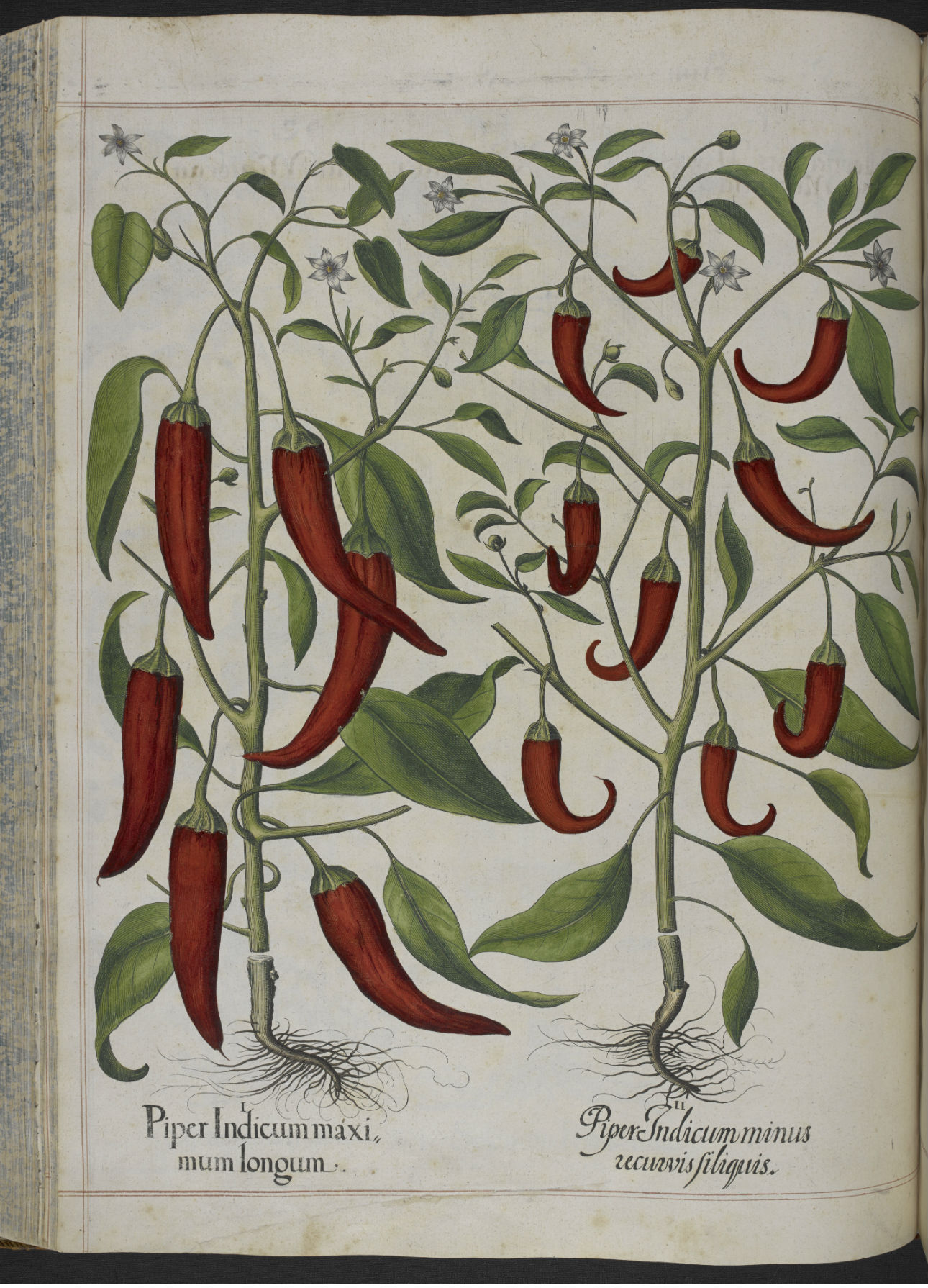 Hortus Eystettensis: red pepper plants