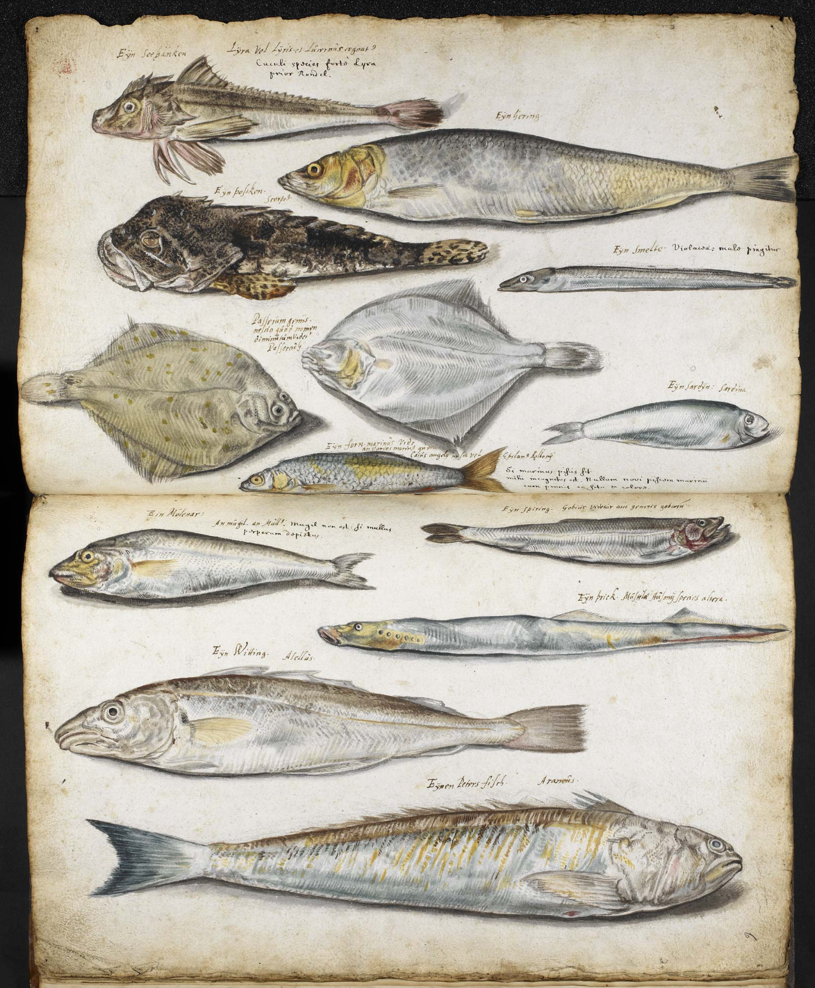 Illustration from John Ray's Book of Fishes, f.5v-6