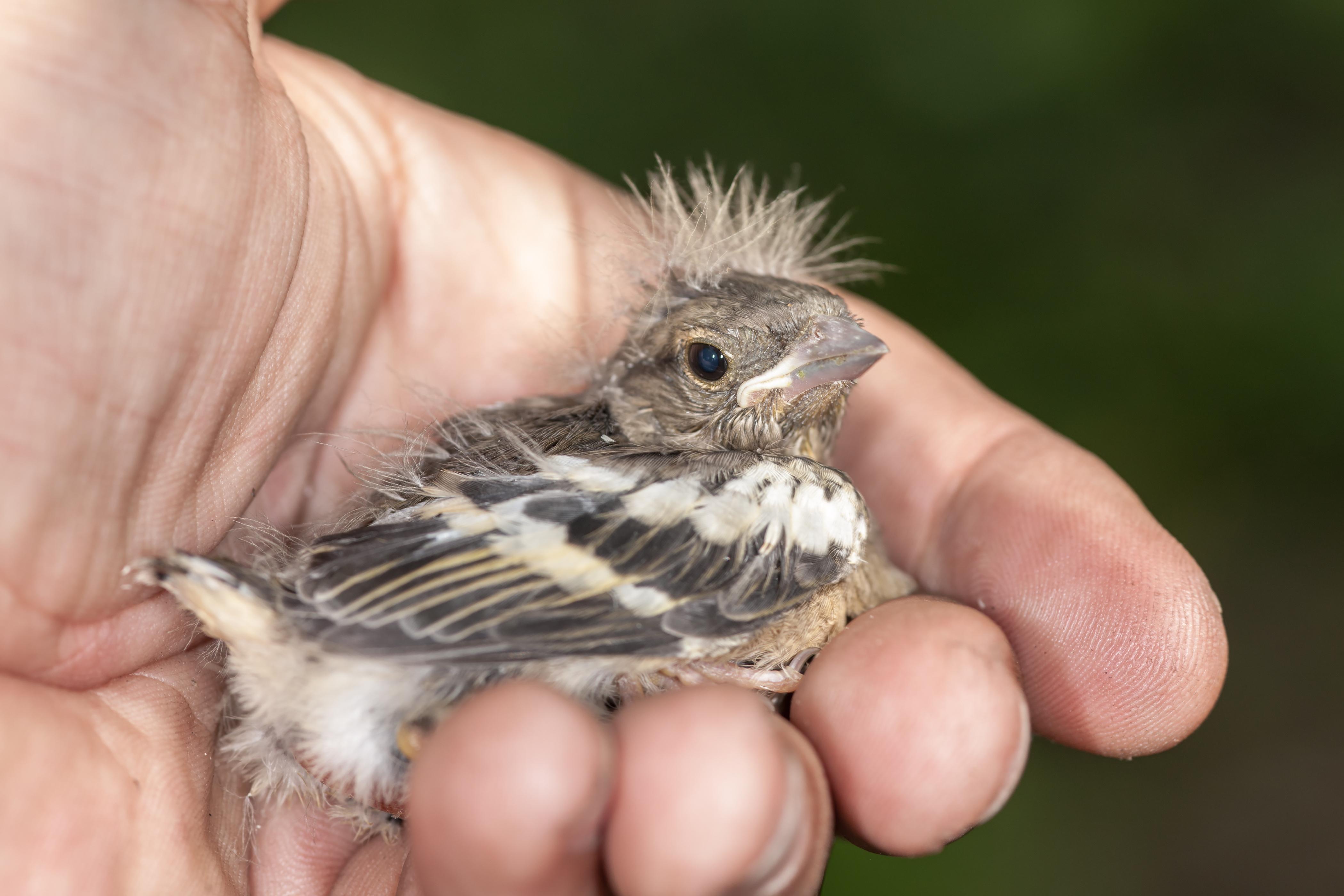 chaffinch chick