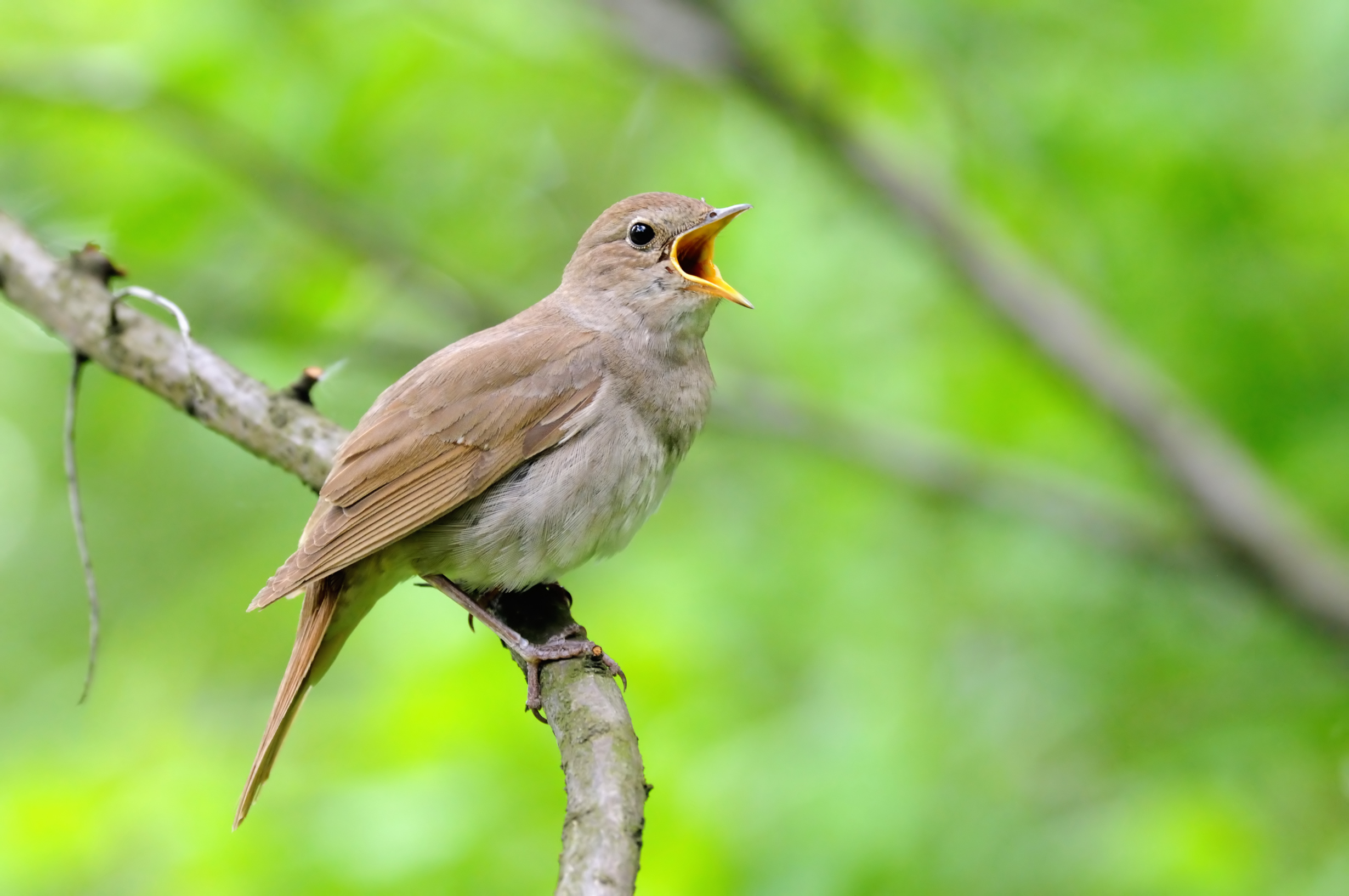 Nightingale song - The British Library