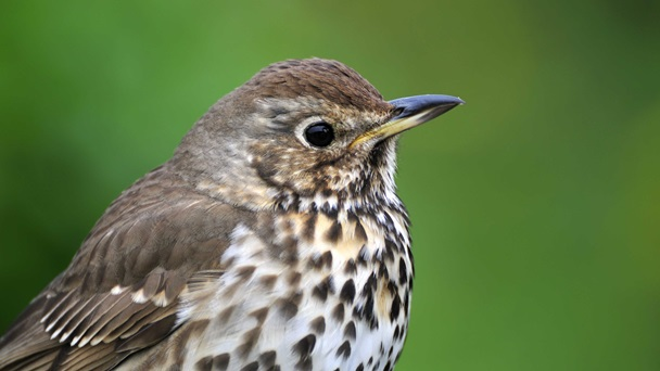 Song thrush Turdus philomelus