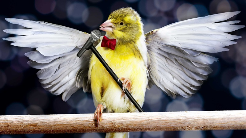 A canary singing into a microphone which it is holding with its feet.