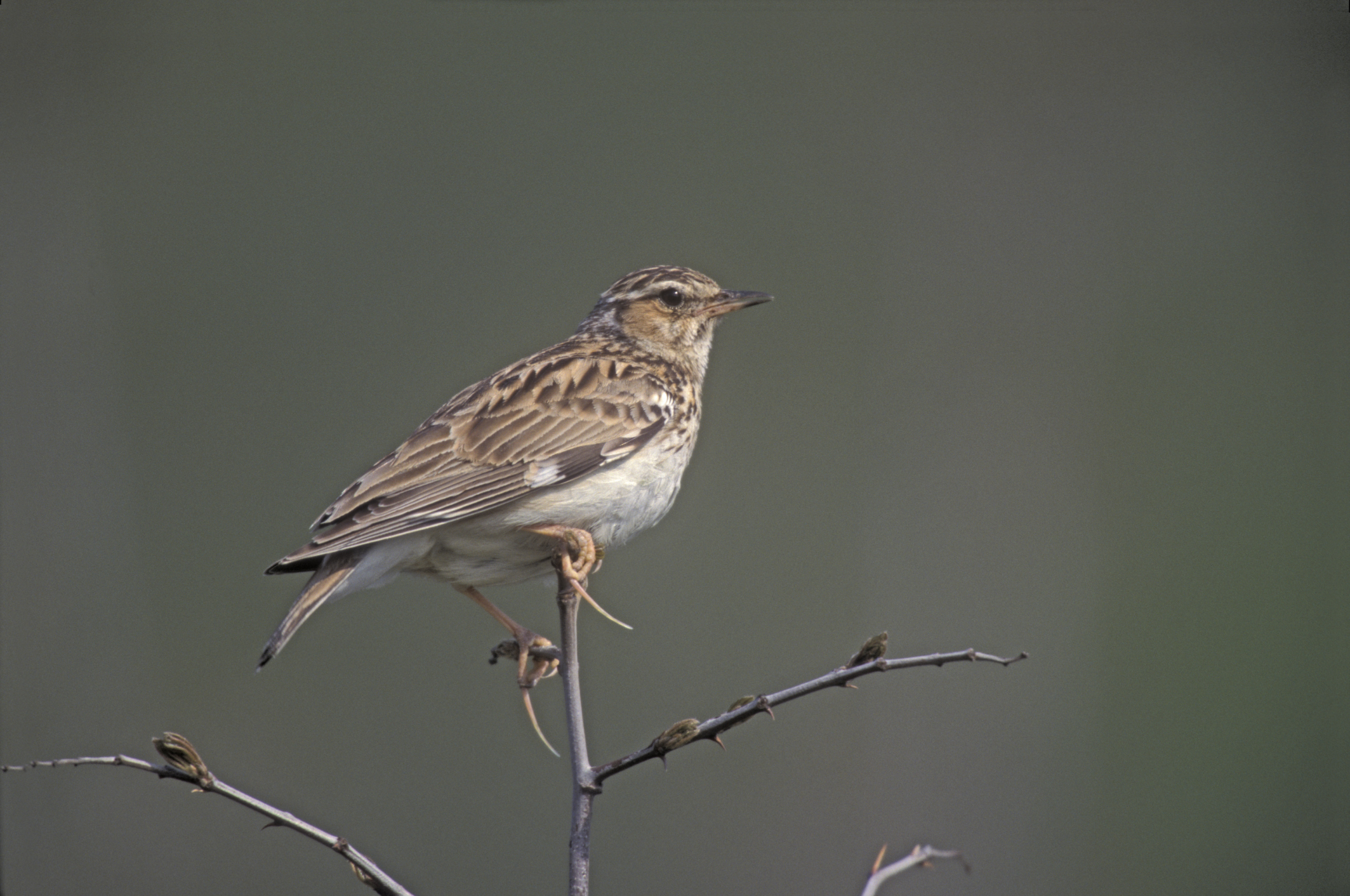 The Top 10 British birdsongs - The British Library