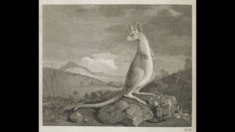 An Animal Found on the Coast of New Holland called Kangaroo, by William Byrne after George Stubbs.