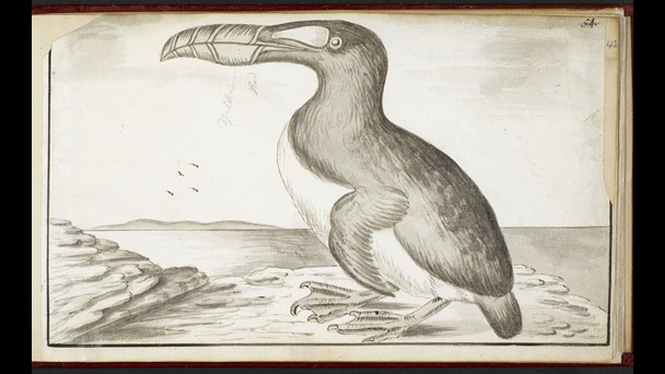 Great Auk.
